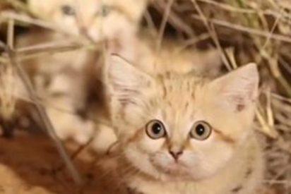 Así son los gatitos más tiernos e 'invisibles' del mundo, que viven en el Sáhara