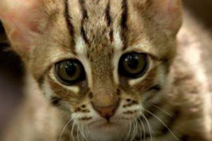 Este es un gato adorable pero también el más peligroso del mundo