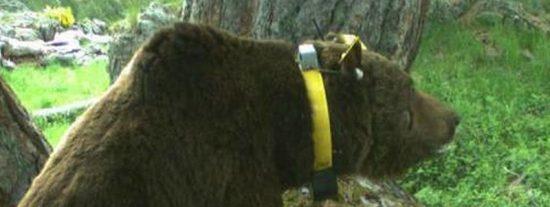Este es Goiat, el oso asesino del Pirineo al que sólo está permitido gritarle