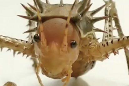 Este grillo erizo gigante se merienda a un insecto por completo en menos de un minuto