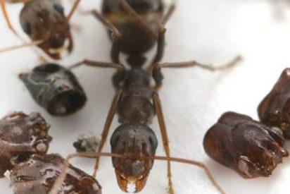 Así es la hormiga 'cabrona' que desmiembra a sus enemigos, los decapita y decora el nido con sus cráneos