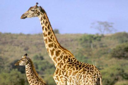 Esta madre jirafa se deshace de un grupo de hienas para salvar a su cría herida