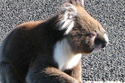 Este koala se planta en mitad de una carretera y no hay manera de echarlo