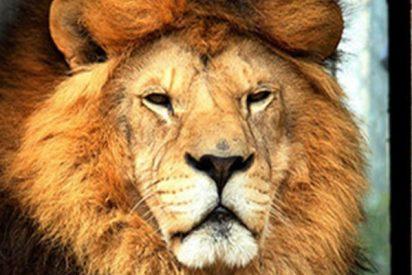 Un borracho molesta a un león en un zoo y es atacado ferozmente