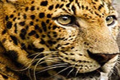 Este astuto leopardo embosca a un antílope bajo la mirada impávida de los monos