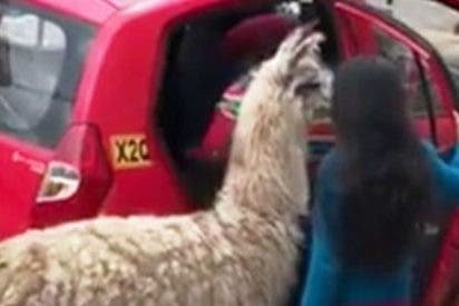 Esta llama se va en taxi a Cusco