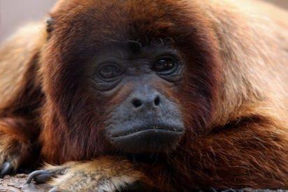 Un mono le arranca parte del cuero cabelludo a una niña de un año