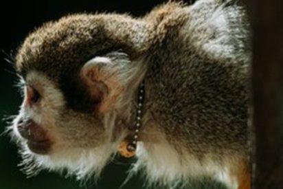 Este mono 'escapa de Brasil' cruzando a nado la frontera natural con Bolivia