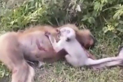 Este bebé de mono intenta despertar a su madre muerta que acaba de ser atropellada
