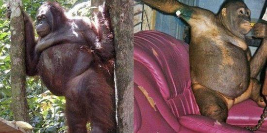 Esta es Pony, la orangután a la que maquillaban para prostituirla en un burdel en Indonesia