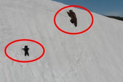 El dramático video de una osa y su cría luchando por no caer a un precipicio