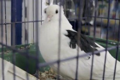 Esta valiente paloma con el ala fracturada llega por sí misma a una clínica veterinaria para que la curen