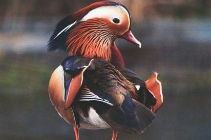 Este pato mandarín conquista el Central Park tras una misteriosa aparición