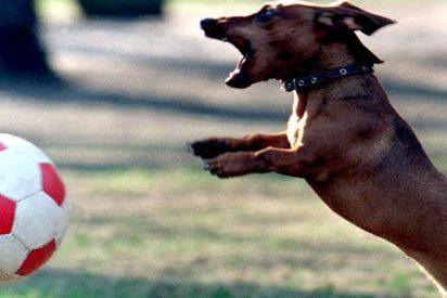 Este perro salchicha para un penalti durante un partido de fútbol en Brasil