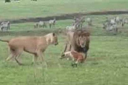 El perro valiente planta cara a la pareja de feroces leones