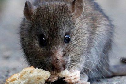 Cocinan esta rata en un restaurante de hamburguesas