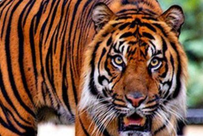 Rescatan a este tigre de 80 kilos atrapado durante 3 días en un sótano de 75 cm