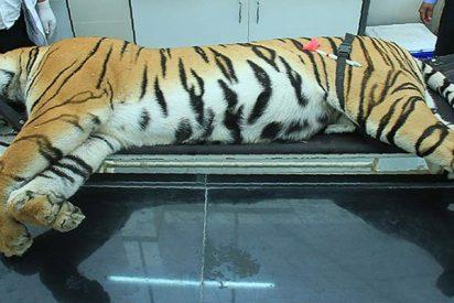 """Abaten a esta tigresa de una """"inteligencia inusual"""" tras dos años matando humanos en la India"""