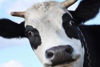 Rescatan a esta vaca tras pasar dos largos días metida en la piscina de un domicilio particular en Madrid y 'sin bikini'