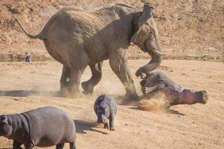El elefante se enfrenta a tres jóvenes hipopótamos y les da lo suyo