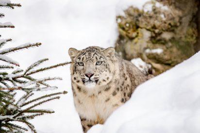 Graban con cámara oculta a estos leopardos en el Lejano Oriente ruso