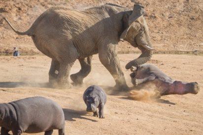 Este feroz elefante se enfrenta a tres hipopótamos cabreados y les da lo suyo