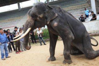 Crueldad: Esta elefante esquelética es obligada a realizar acrobacias para los turistas
