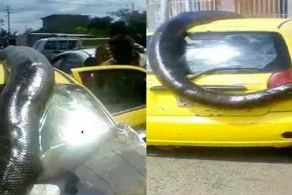 Las imágenes de la impresionante anaconda que fue cazada en San Félix, Venezuela