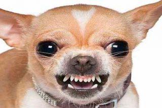 Por qué los perros chihuahua son más agresivos que otras razas