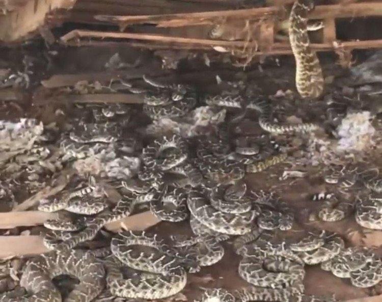 Encuentra un nido de 50 serpientes de cascabel debajo de su cobertizo