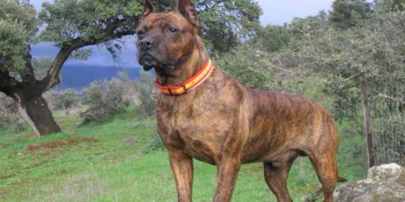 """Este es el perro fiel y valiente que """"será sacrificado por morder a un ladrón rumano"""""""