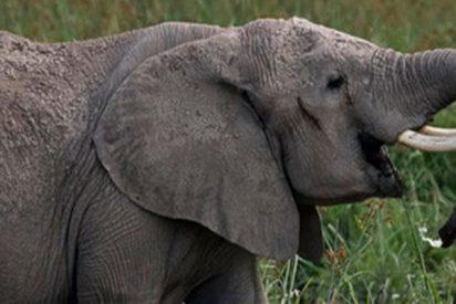 Este elefante se enfrenta a tres hipopótamos cabreados por el territorio
