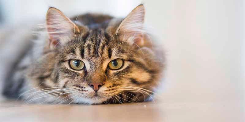 Gatos: Por qué siempre, pase lo que pase, caen de pie