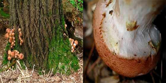 El inmenso hongo subterráneo que es más grande que 100 canchas de fútbol
