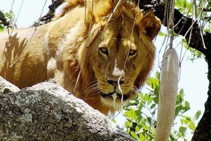 Este león 'cagón' se queda atrapado en un árbol por miedo a bajar
