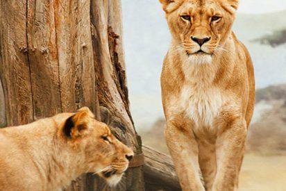 Alquilan esta casa turística donde vives rodeado por más de 70 leones