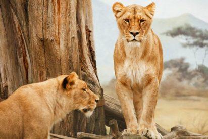 Alquilan por Airbnb una casa turística rodeada por más de 70 leones