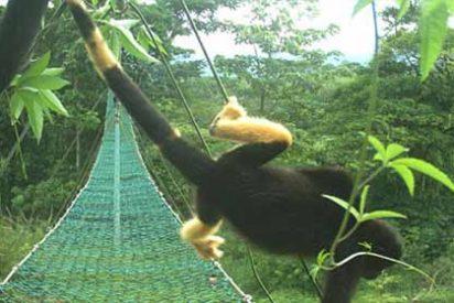 El inquietante misterio de los monos que se están tornando amarillos