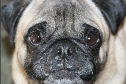 Así es la conmovedora historia de Noelio, un perro muy fan de 'OT'