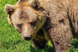 Un cazador ruso muere atacado por un oso que crió en su casa