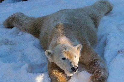 La reacción de los osos polares del zoológico de San Diego al ver la nieve por primera vez, no tiene precio
