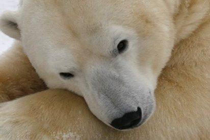 Graban este inesperado 'juego' entre un perro y un oso polar