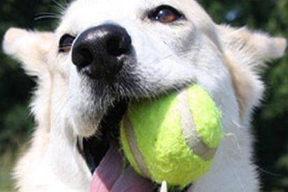 Le regala de Navidad a su perra 24 pelotas de tenis y pasa esto…