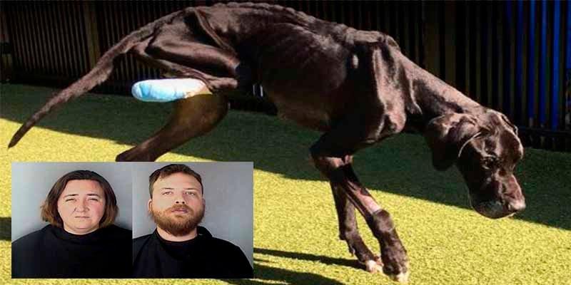 'Luke', el gran danés que se comió su pata para soltarse y huir de los dueños que lo mataban de hambre