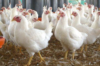 Lo que debes saber sobre la gallinaza o estiércol de pollo que ha provocado el incendio de Tarragona