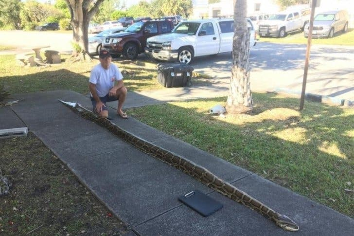 Capturan a una pitón de 5,4 metros en Miami