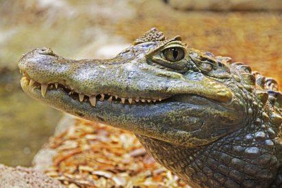 El truco que permite a estos caimanes listos sobrevivir cuando se hiela el pantano