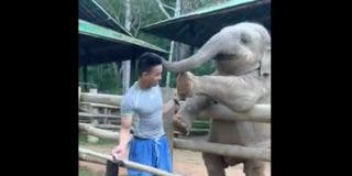 El elefante juguetón: este joven paquidermo exige a trompazos a su cuidador que le preste atención