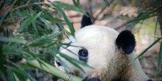 Este panda casi se traga el cuchillo de carnicero al confundirlo con un tallo de bambú