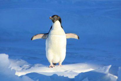 El Indiana Jones pingüino salta 'in extremis' para no morir aislado en el hielo